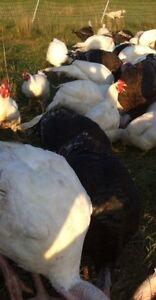 Pastured Chicken Meat