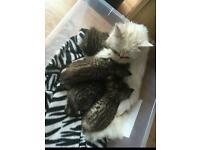 4 half Persian half mog kittens