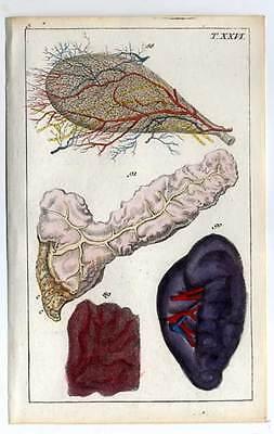 Anatomie - Medizin, Altkolorierter Kupferstich 1800