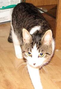 "Adult Male Cat - Domestic Short Hair-Tabby: ""Tom"""