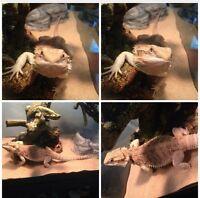 BEARDED DRAGON PLUS ALL ACCESSORIES