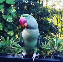 Alexandrine Male Missing **Reward** Balmoral Brisbane South East Preview