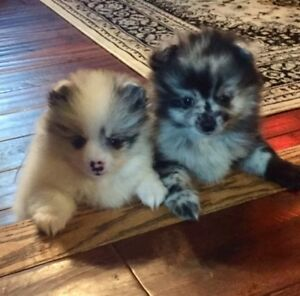 BEAUTIFUL POMERANIAN BABIES