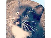 black & white fluffy kitten for sale