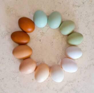 Fertilised Purebred and Barnyard Mixed Chicken Eggs