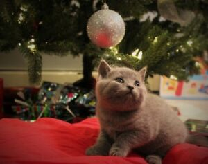 Chartreux kittens (Rare)