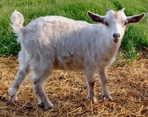 Fainting Goats | Kijiji in Ontario  - Buy, Sell & Save with