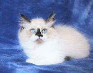 Purebred Ragdoll Kitten - One Boy Available