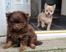Pomchi Puppy