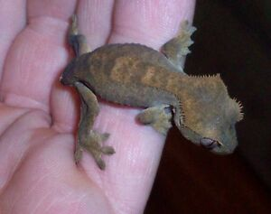 Juvenile Crested Geckos for re-homing $25 each