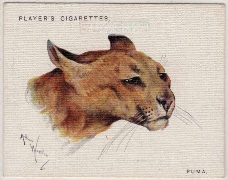 Puma Felis concolor Large North America Wild Feline Cat 1930s Trade Ad Card