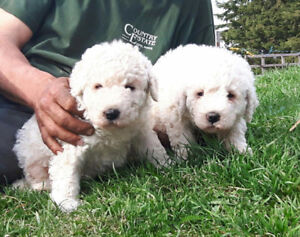 Gorgeous Komondor Pups