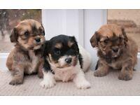 Beautiful litter of Cavachon puppies