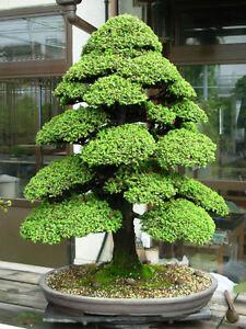 Cryptomeria japonica 30 graines c dre japonais grand sujet bonsa - Vente arbres grands sujets ...