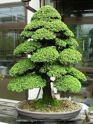 Cryptomeria japonica (Japanese Cedar) - 30 Rare viable seeds - Great as a bonsai