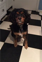 Gentle 9 year old spaniel-x to good home