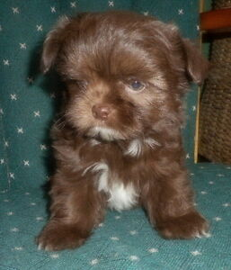 ***NOW SOLD*** --  Chocolate SHIHTZU X LONGCOAT CHIHUAHUA Puppy