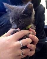 """Young Male Cat - Domestic Short Hair-gray: """"Bumper"""""""