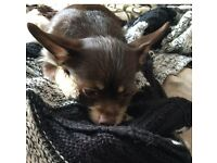 Lovely Chiweenie (Dachshund x chihuahua) dog for sale