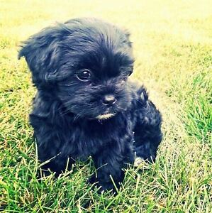 Shih-Poo Puppies. Hypoallergenic and Nonshedding
