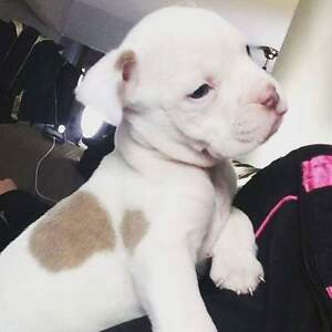 Olde Englishe Bulldog x American Pitbull for sale