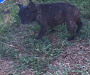 Chocolate brindle french bulldog Greenbank Logan Area Preview
