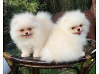 Pomeranian show standard KC registered