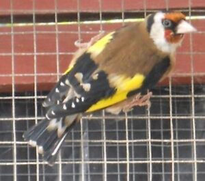 Gold finches $15 each Riverstone Blacktown Area Preview