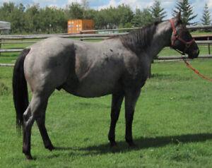 ROAN QUARTER HORSES FOR SALE: STUDS, MARE, & GELDING