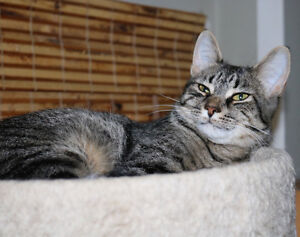 Starfire, Pretty Brown Tabby for Adoption with KLAWS