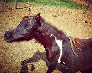 AMHR Smokey Black Pinto Filly
