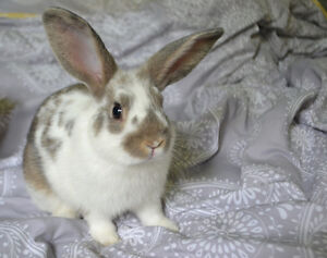 Beautiful Male Mini Rex Rabbit