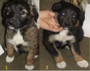 Puppies of a rare bloodline purebred Border Collie mix