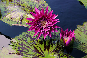 Rare deep red water lily pond plants water lilies koi for Deep pond plants