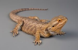 Wanted bearded dragons Black River Townsville Surrounds Preview
