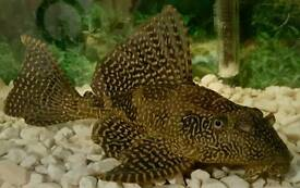 Large gold spoted pleco, 55l tank and accessories