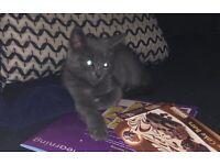 5 month old female kitten
