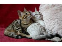 Tica registered Bengal cubs ready now