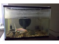 Gold fish, tank, and stand - urgent sale