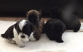 5 Small Shih Tzu Pups for sale, Mom n Dad family pets, will have 1st injections n chipped