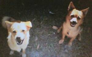 Pomeranium/Silky dogs LOST in Coolum Coolum Beach Noosa Area Preview