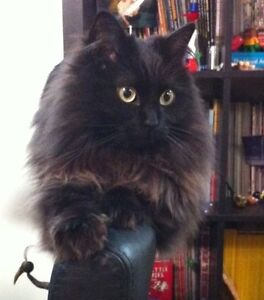 Missing; domestic long haired black cat (with ash/brown tones)