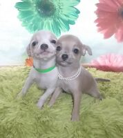 2BB  beauté CHIHUAHUA A RESERVER ! sublime tite perle !!