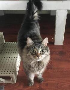 "Adult Female Cat - Domestic Long Hair: ""Sassy"""