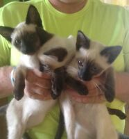 Siamese Kittens UPDATED PHOTOS ADDED