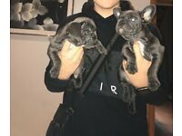 Solid Blue French Bulldog Puppies For Sale