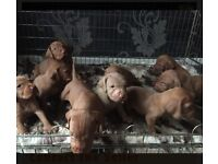 Gorgeous KC Wirehaired Vizsla male puppy