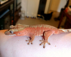 Deals on Ball Pythons and Crested Geckos!
