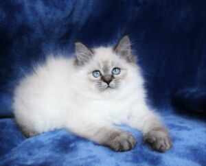 Fluffy Lynx point Ragdoll kittens