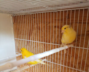 Pair of Yellow Canaries